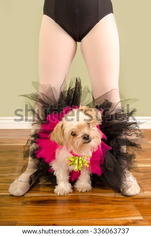A Chihuahua Pomeranian Cross Small Dog is dressed up in a tutu and sits between a child ballet dancers legs. - stock photo