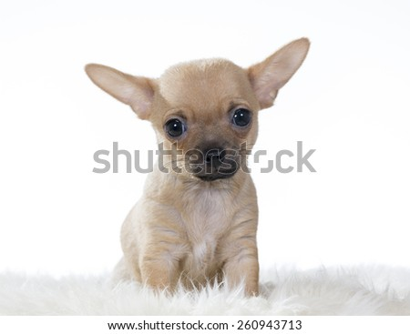 A Chihuahua portrait. Puppy at the age of 10 weeks. Image taken in a studio. - stock photo