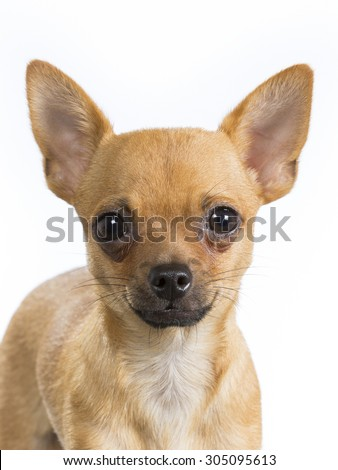 A chihuahua puppy portrait. Image taken in a studio with a white background.  - stock photo