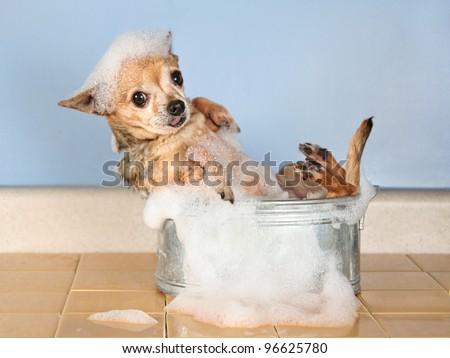 a chihuahua taking a bath - stock photo