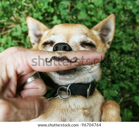 a chihuahua with a mustache - stock photo