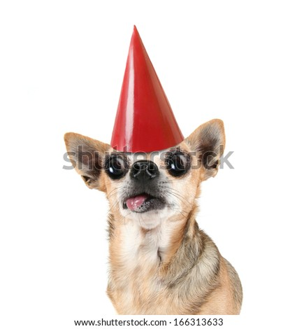 a chihuahua with a red birthday hat on - stock photo