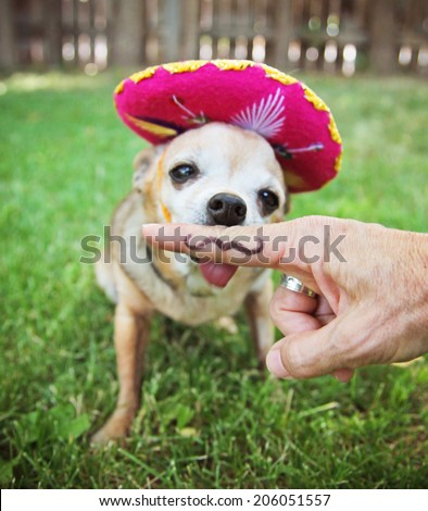 a chihuahua with a sombrero hat on sitting in the grass - stock photo