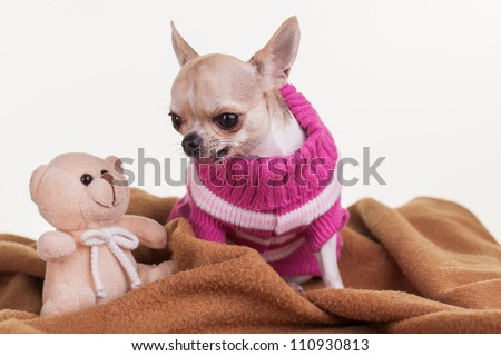 A chihuahua with her teddy and blankie. - stock photo