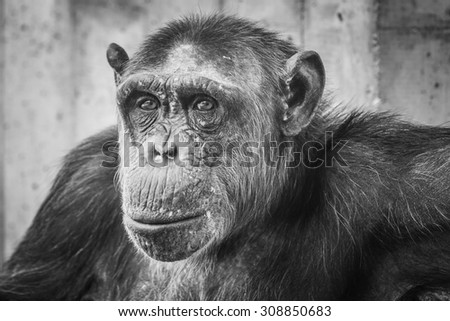 A chimp looking serious - stock photo