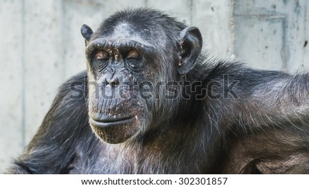 a chimp with closed eyes  - stock photo
