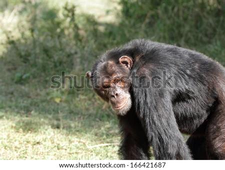 A Chimpanzee looking to the camera, Ol Pejeta Conservancy - stock photo