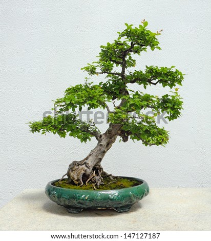 A Chinese Sweetplum Bonsai Tree - stock photo