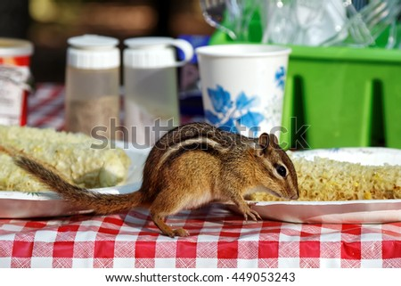 A chipmunk eating corn ears on a campground picnic table. - stock photo