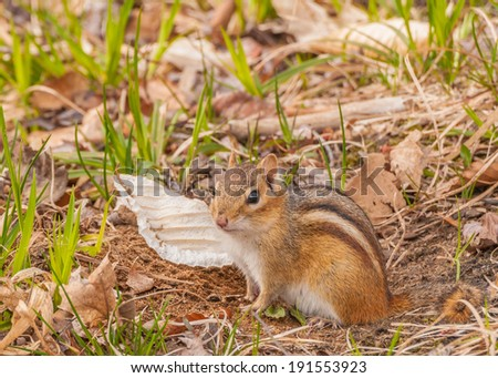 A Chipmunk perched in the grass looking at the camera. - stock photo