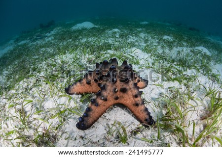 A Chocolate chip starfish crawls across a sand and seagrass bottom near a reef in Indonesia. This tropical starfish is quite common and found throughout the Indo-Pacific region. - stock photo