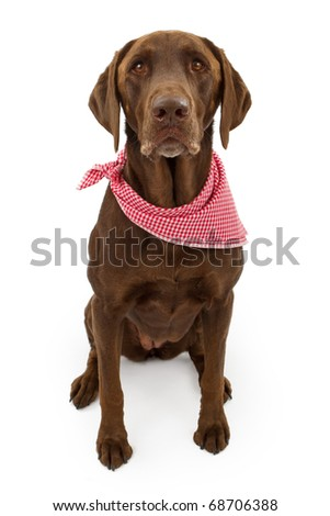 A chocolate Labrador retriever dog with a red and white checkered scarf isolated on white - stock photo