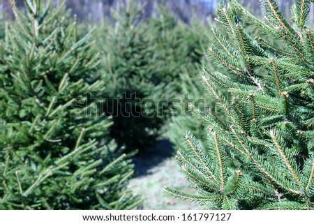 A Christmas Tree farm in the country - stock photo