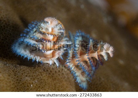 A Christmas tree worm (Spirobranchus gianteus) lives on a reef in the tropical western Pacific Ocean. This tube-building polychaete worm is a common inhabitant of reefs all over the world. - stock photo