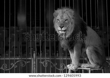 A circus lion portrait in black and white - stock photo