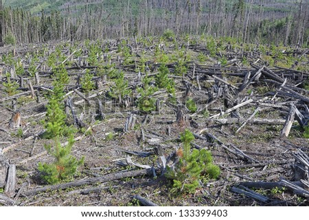 A clearcut with revegetating planted trees - stock photo