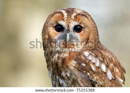 A close portrait of a tawny owl - stock photo