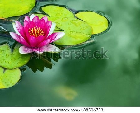 a close up detail of a pink Lotus water lily - stock photo