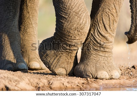 A close up, horizontal colour image of the feet, toes, and a portion of the dripping trunk of an elephant, Loxodonta africana, at a waterhole on Mashatu Game Reserve, Northern Tuli, Botswana. - stock photo