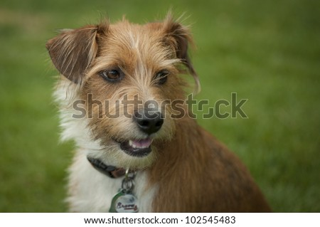 A Close up image of an adopted terrier mix pup sitting in the grass looking at the camera - stock photo