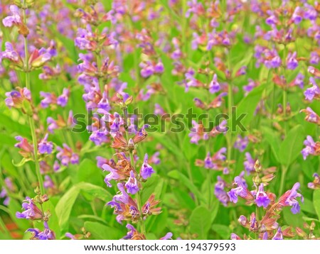 A close-up image of sage.  - stock photo