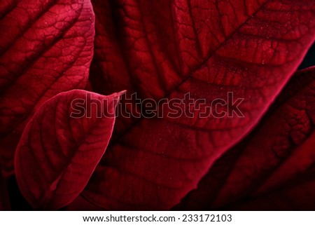 A close up macro of poinsettia plant leaves.  The plant is most commonly used for Christmas displays and themes.  - stock photo