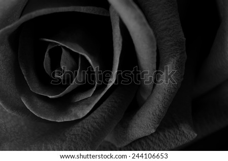 A close up macro shot of a rose,valentine background, black and white - stock photo