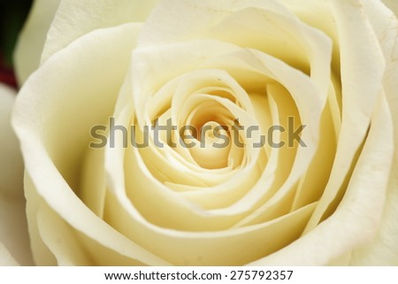 A close up macro shot of a white rose - stock photo
