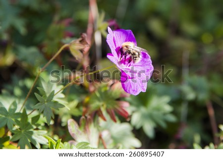 A close up of a bee on a pink flower  - stock photo