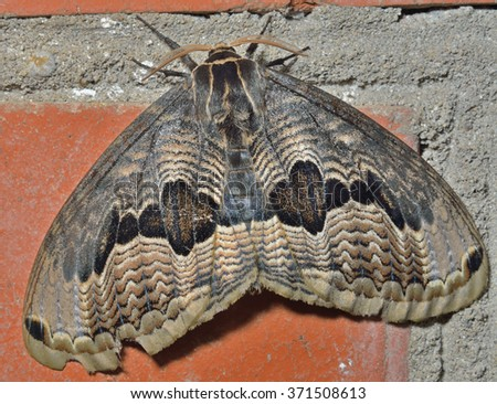 A close up of a big and very beautiful night butterfly (Brahmaea tancrei). - stock photo