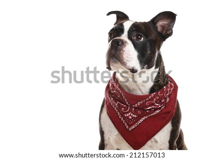 A close-up of a Boston Terrier - stock photo