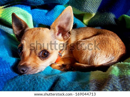 a close up of a chihuahua on a blanket - stock photo