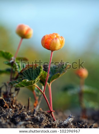 A close-up of a cloudberry, shallow depth of focus - stock photo