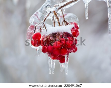 A close up of a cluster of red berries on a tree branch covered in ice during the winter season.  - stock photo