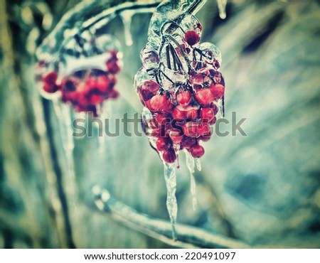 A close up of a cluster of red berries on a tree branch covered in ice during the winter season.  Filtered for a retro, vintage look.  - stock photo