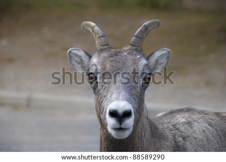 A close-up of a female bighorn sheep (Ovis canadensis) in the Canadian Rockies - stock photo