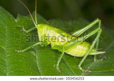a close-up of a green grasshopper sitting on a green leaf - stock photo