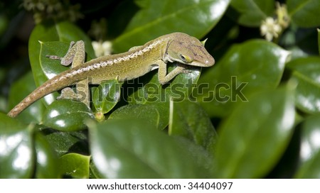 A Close Up of a Green Lizard on a Small Leaf - stock photo