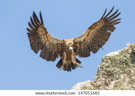 a close up of a griffon vulture,vale gier extremadura - stock photo