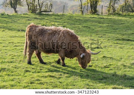 A close up of a highland cow - stock photo