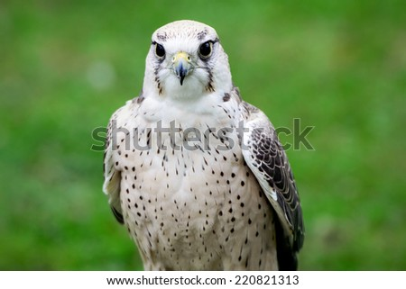 A close up of a lanner falcon perched at an outdoor show on birds of prey.  - stock photo