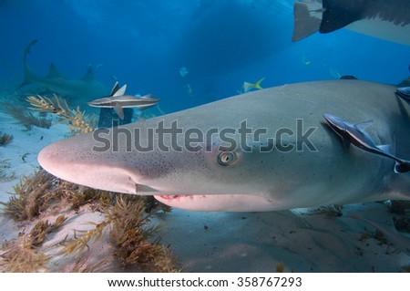 A close up of a lemon shark with remora fish.  - stock photo