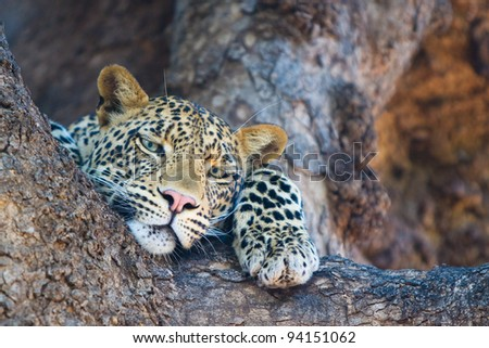 A close up of a leopard resting in the fork of a large tree - stock photo