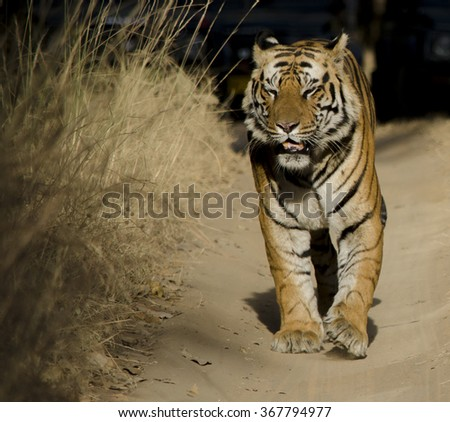 A close up of a Male Bengal Tiger Scientific name- Panthera Tigris - stock photo
