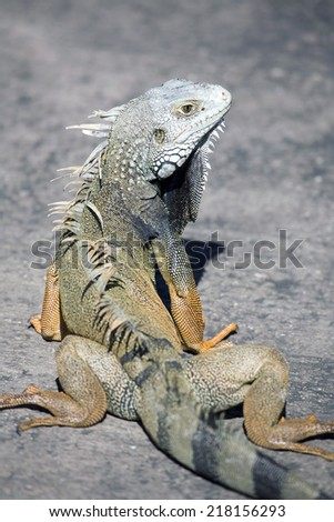 A close up of a male green iguana turned orange during mating period in Puerto Rico. - stock photo