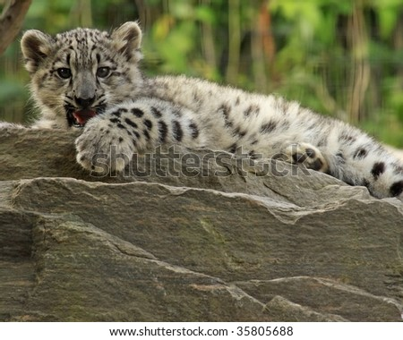 A close-up of a 3-month old snow leopard (panthera uncia) cub. - stock photo