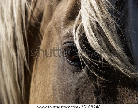 A close-up of a palomino horse's eye. - stock photo