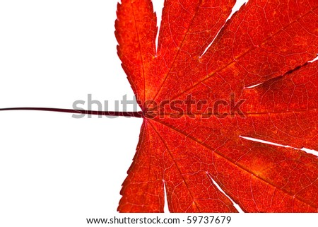 A close up of a red japanese maple leaf on a white background - stock photo