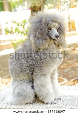 A close up of a small beautiful and adorable silver gray Miniature Poodle dog. Poodles are exceptionally intelligent usually equated to beauty, luxury and snobs. - stock photo