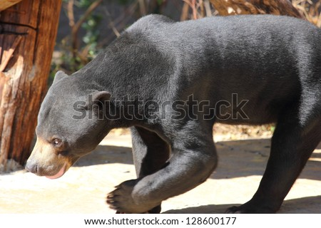 A close up of a sun bear,Helarctos malayanus , walking in the sun - stock photo